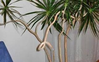 Как размножить драцену в домашних условиях черенками, как посадить отросток пальмы?