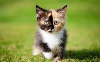 Как назвать котенка девочку серого цвета, клички для трехцветных кошек