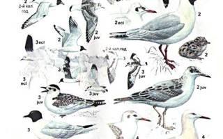 Разновидности чаек, чайки виды фото и описание