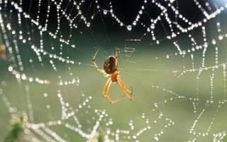 Паук в доме к чему, белый паучок примета