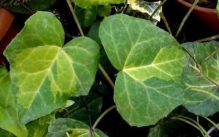 Ядовитые домашние цветы фото и названия: неядовитые комнатные растения