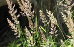 Злаковые сорняки фото и название: сорные травы список