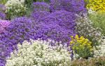 Ползучие цветы для дачи фото с названиями: стелющиеся многолетники для сада