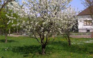 Черешня это кустарник или дерево, вишня это куст