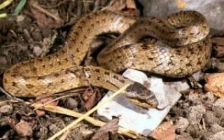 Медянка змея ядовитая или нет для человека, веретеница фото и описание