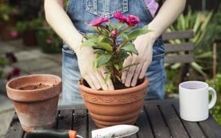 Можно ли сейчас пересаживать комнатные цветы: лунный календарь пересадки растений