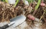 Когда выкапывать гладиолусы и как их хранить?