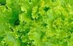 Как сохранить салат листовой на зиму: заготовка листьев