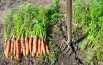 Когда убирать морковь с грядки?