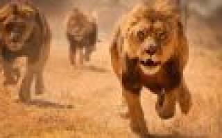 К чему снится убегать от льва – к чему снятся лев и тигр?