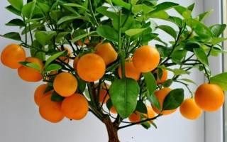 Домашний мандарин уход в домашних условиях