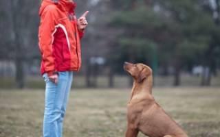 Дрессировка щенка в домашних условиях для начинающих – как правильно учить собаку командам?