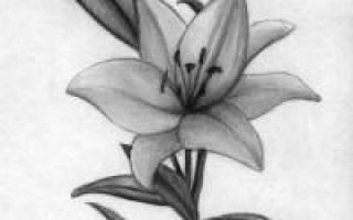 Как нарисовать лилию карандашом поэтапно для начинающих