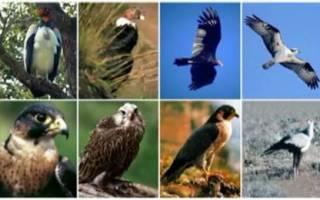 Названия хищных птиц – характеристика семейства соколиные отряда дневных хищников
