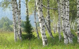 Какие деревья дают энергию а какие забирают – энергетика дуба