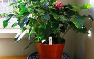 Китайская роза комнатная уход и размножение: цветки гибискуса