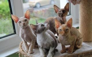 Неаллергенные кошки породы с фото, коты с гипоаллергенной шерстью