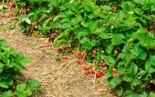 Болезни клубники описание с фотографиями, заболевания земляники садовой