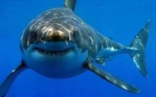 Акулы в черном море есть или нет, акула черноморская