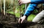 Когда пересаживать малину весной или осенью?