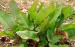 Когда лучше сеять щавель весной или осенью?