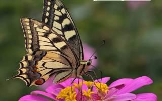 Махаон бабочка фото и описание