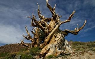 Сколько лет самому старому дереву в мире: среди растений настоящим долгожителем является