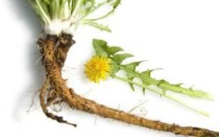 Корни одуванчика лечебные свойства и противопоказания рецепты