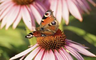 Настойка эхинацеи для иммунитета как принимать взрослым – echinacea goldenseal инструкция