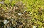 Ирландский мох от кашля инструкция по применению, ягель отзывы