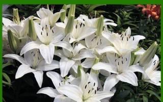 Размножение Лилии чешуйками, видео