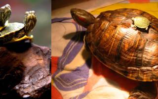 Сколько живет красноухая черепаха в домашних условиях