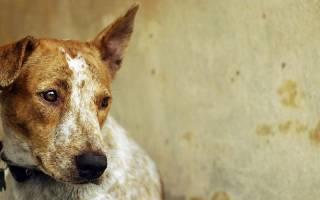 Передается ли чумка от собаки к человеку?