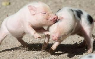 Сколько живут мини пиги в домашних условиях: минипиг как ухаживать
