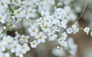 Цветение деревьев, цветет до появления листьев